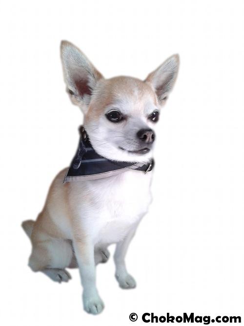 collier bandana chihuahua atoodog