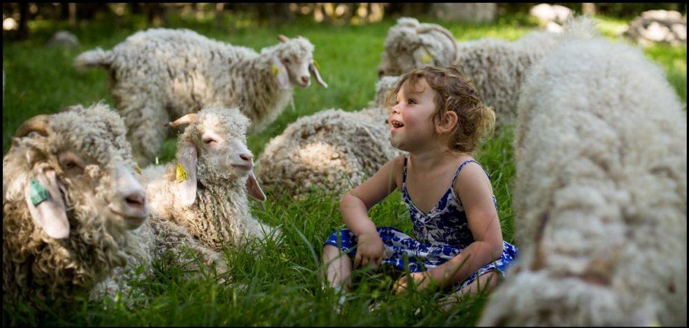 La ferme des Moulis et son élevage de chèvres Angora